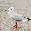 Black-headed Gull, adult in alternate plumage