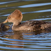 Hooded Merganser female with freshly caught fish