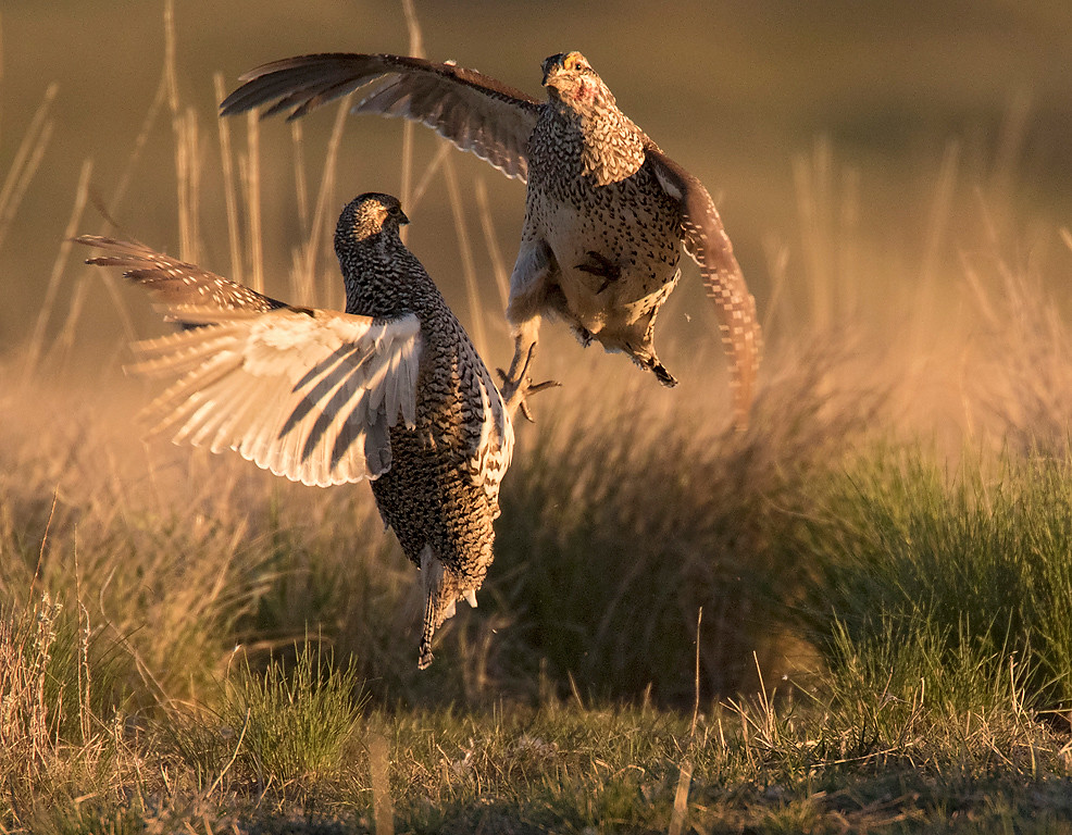 "Sharp-tailed Grouse, a brief ""cockfight"""