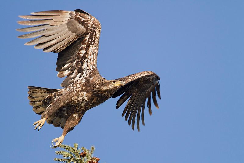 Bald Eagle, immature