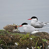 Arctic Terns with young