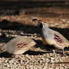 Gambel's Quail, female and male