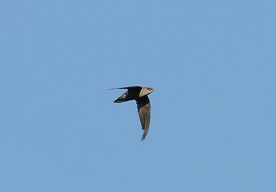 Chimmney Swift