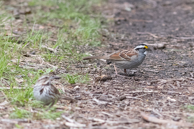 White-throated Sparrow with Song Sparrow