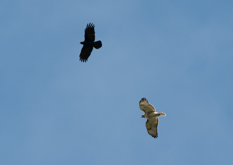 Common Raven & Red-tailed Hawk