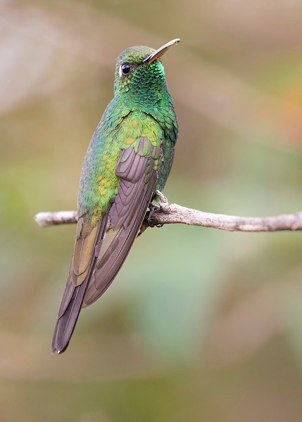 Cuban Emerald, male