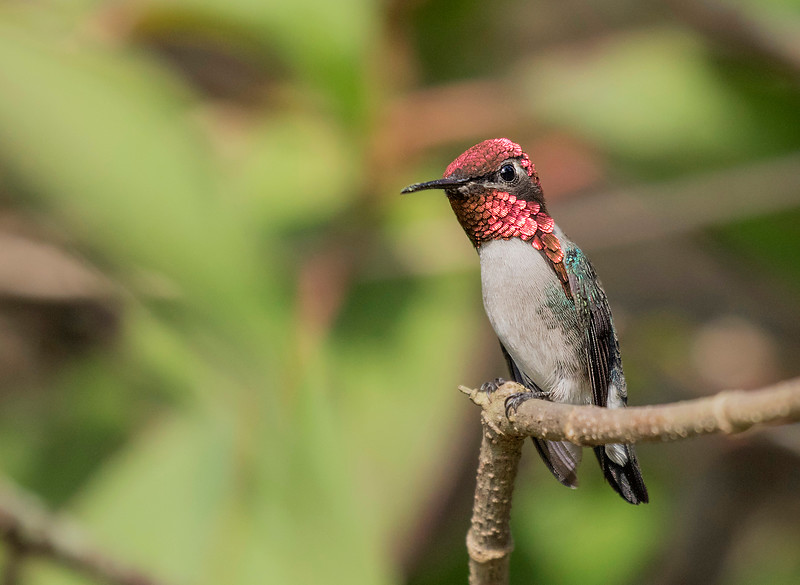 Bee Hummingbird, male