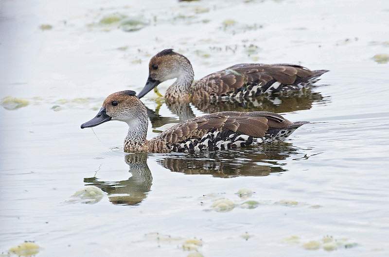 West Indian Whistling-Duck