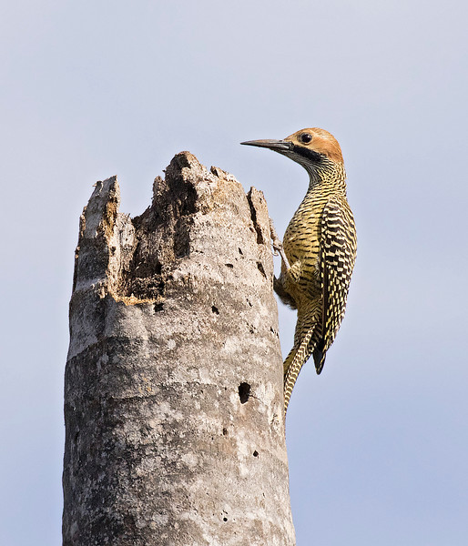 Fernandina's Flicker, male