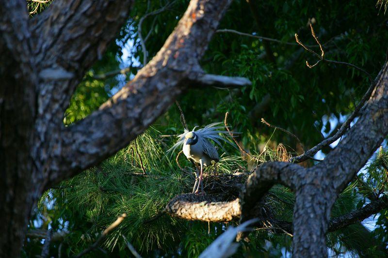 Yellow-crowned night-heron - Nyctanassa violacea – Photographed Boca Raton, FL Apr/2005, Jim Wilson, Photographer.