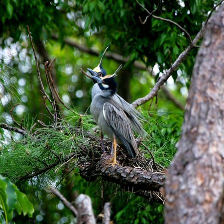 Yellow-crowned night-heron - Nyctanassa violacea – Photographed Boca Raton, FL Apr/2005, Jim Wilson, Photographer.