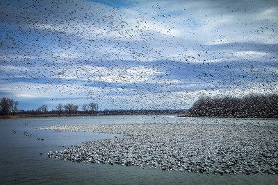 Migratory Birds, DeSoto Wildlife Refuge, Iowa