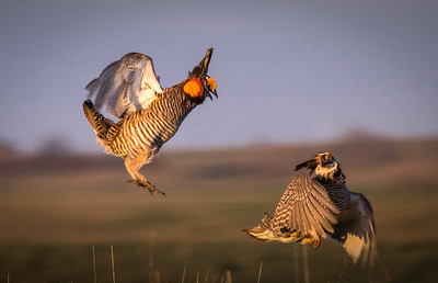 Kung Fu Fighting. Greater Prairie Chicken.