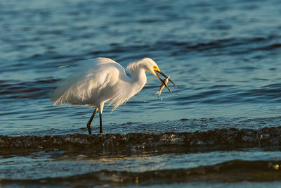 Egret ~ no worm needed