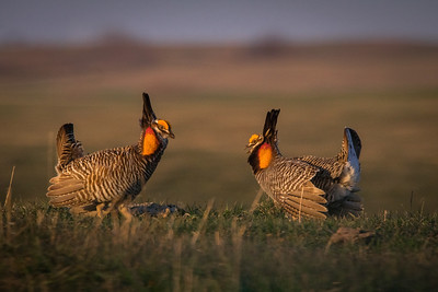 Greater Prairie Chicken. Males face off during the mating ritual.