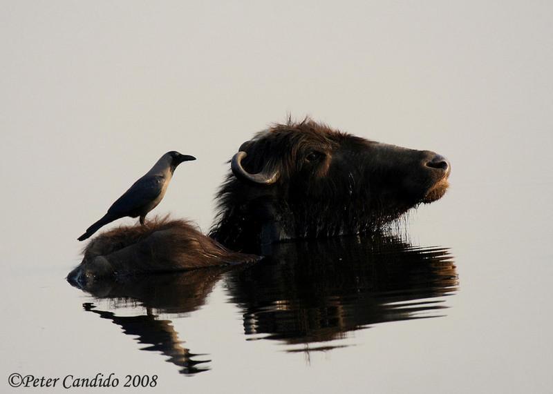 House Crow on water buffalo