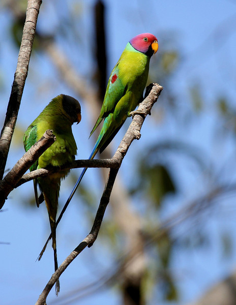Plum-headed Parakeet, pair
