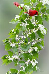 Cardinal - Male
