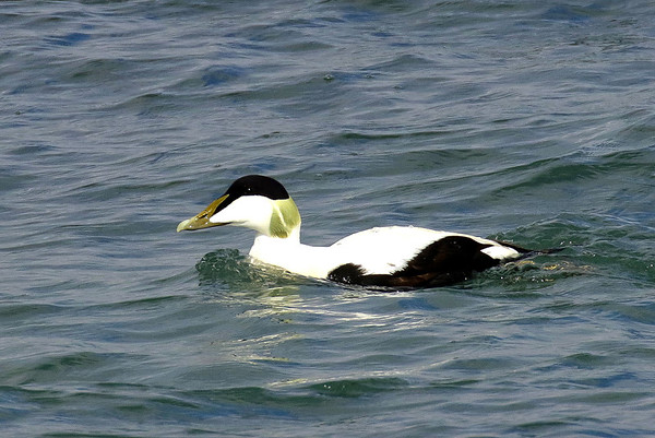 Eider, Skerries, County Dublin