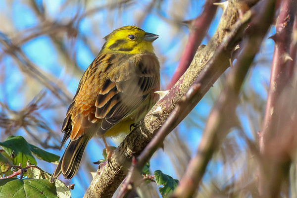 Birdwatching Ireland: Yellowhammer