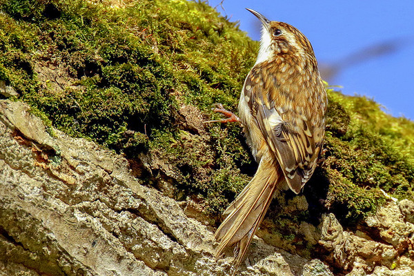 Bird Watching Ireland: Treecreeper