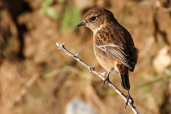 Bird Watching Ireland: Stonechat