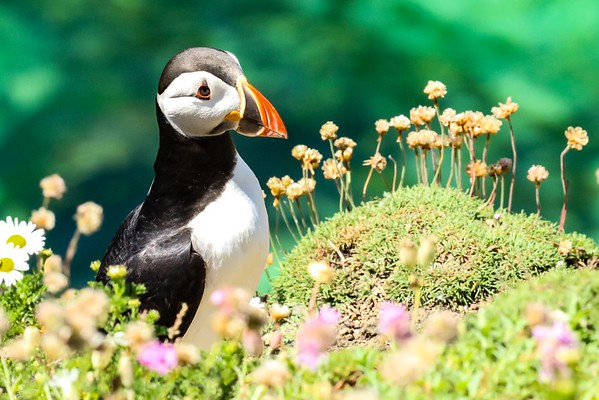 Bird Watching Ireland: Puffin