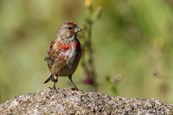 Birds of Ireland: Linnet