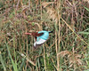 Smyrna Kingfisher