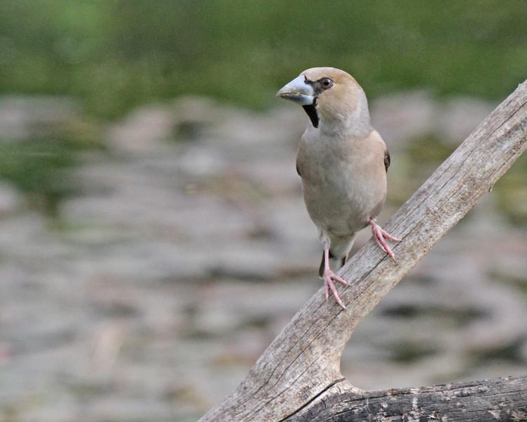 Hawfinch in Jerusalem