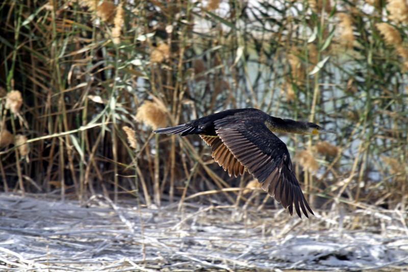 Cormorant in Eilat