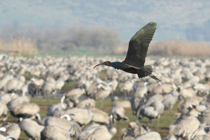 Lonely Glossy Ibis