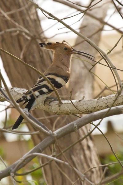 Hoopoe ( National Bird)