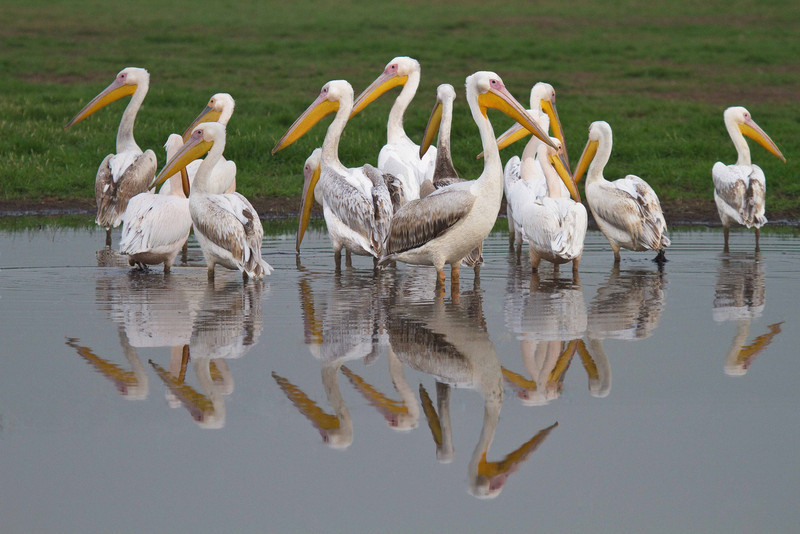 Pelicans in Hula Valley