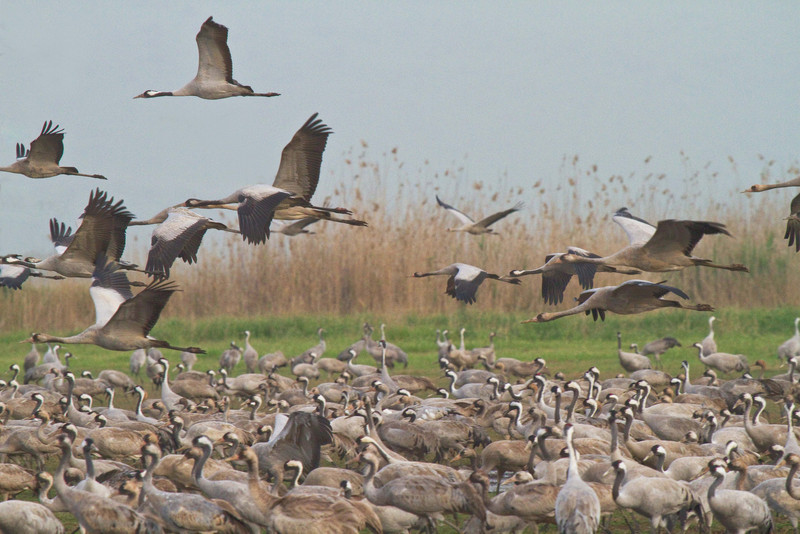 Crane Migration in Hula Valley