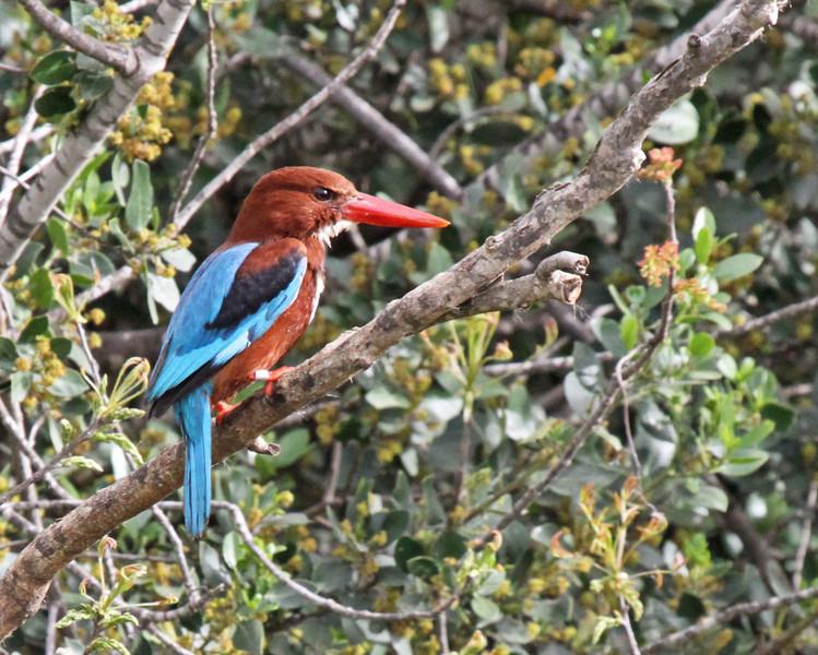 Smyrna Kingfisher in Jerusalem