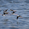 Black-winged Stilts