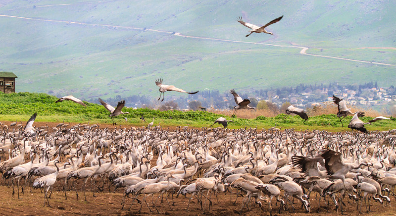 Cranes in the Hula
