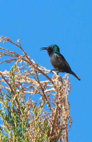 Palastine Sunbird
