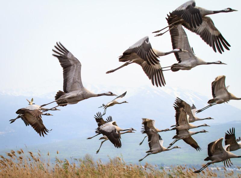 Crane flock in Flight