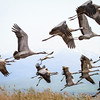 Crane flock in Flight