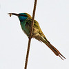 Bee-eater with Bee