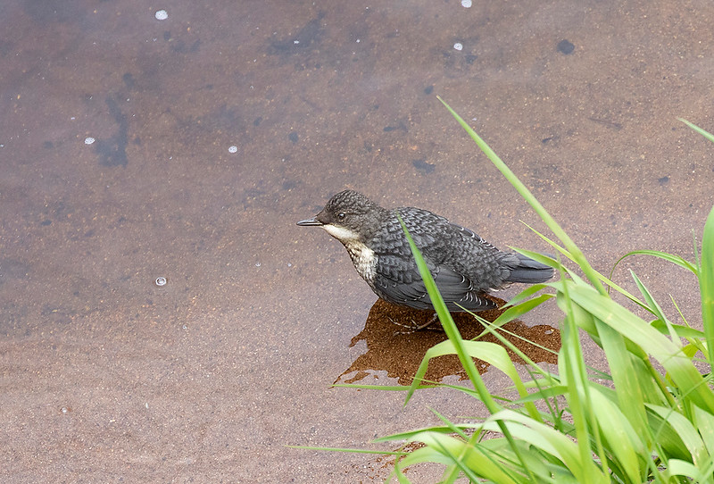 White-throated Dipper, juvenile