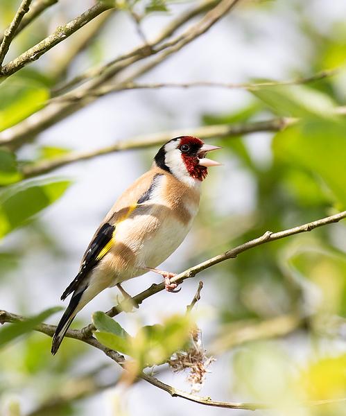 European Goldfinch, male