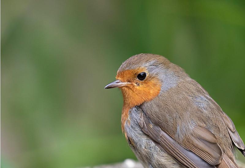 European Robin, adult