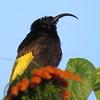 Golden-winged Sunbird (Drepanorhychus reichenowi)