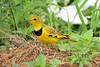 Golden Pipit (Tmetothylacus tenellus)