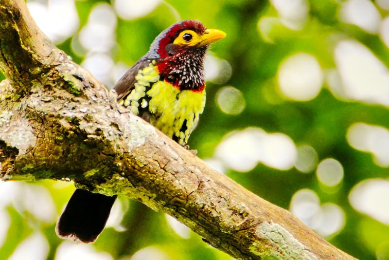 Yellow-billed Barbet (Trachylaemus purpuratus)