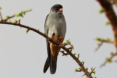Amur Falcon (Falco amurensis)