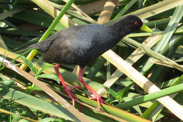 Black Crake (Zapornia Flavirostra)
